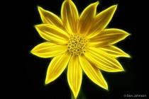 Artistic Cape May Daisy 9-25-15 150