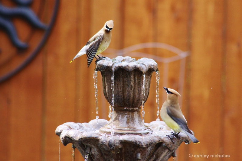 Birds on a fountain - ID: 15069788 © ashley nicholas