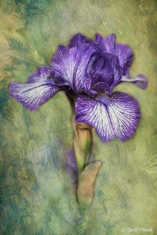 Painterly Iris - ID: 15069801 © Carol Flisak