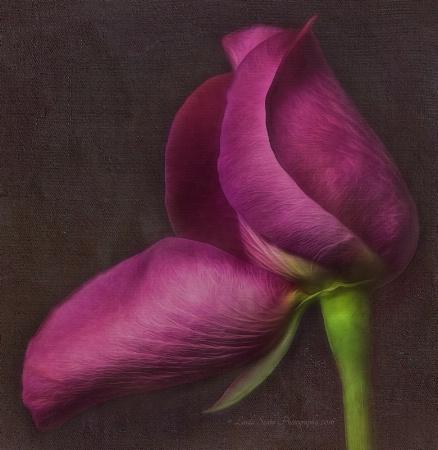 Curvy Rose
