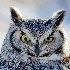 © Doug Newman PhotoID # 15075014: The Stare of the Great Horned Owl