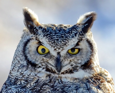 The Stare of the Great Horned Owl