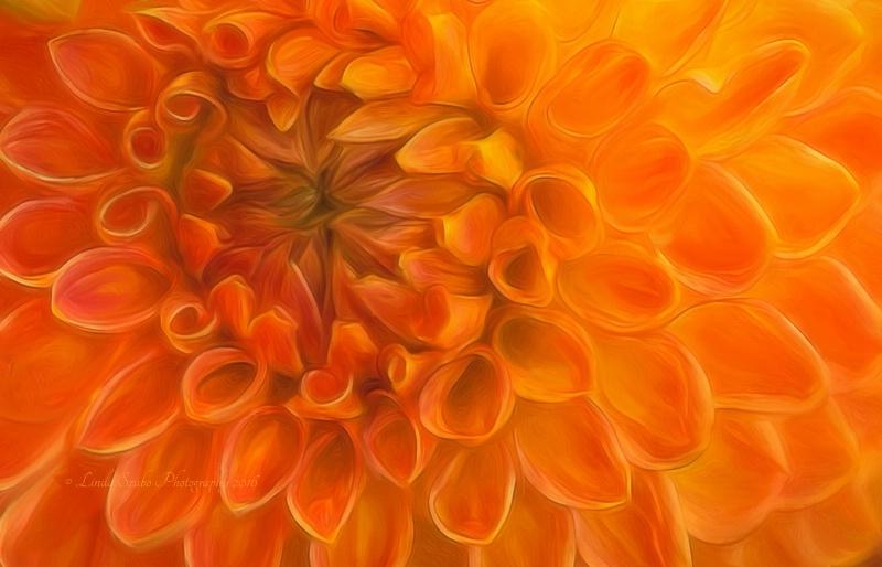 Painted Orange Dahlia