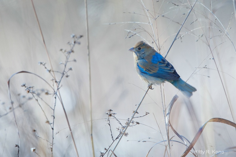 Indigo Bunting in the Snow Today