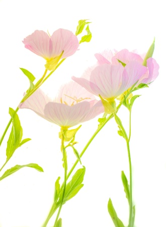 Evening Primrose, (Texas wildflower)