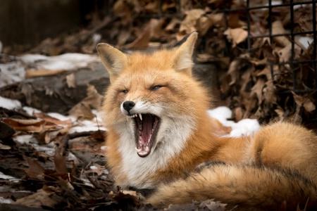 Scary yawn