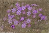 Les Fleurs de Printemps - Hepatica