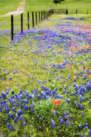 Paintbrush Amid the Bluebonnets