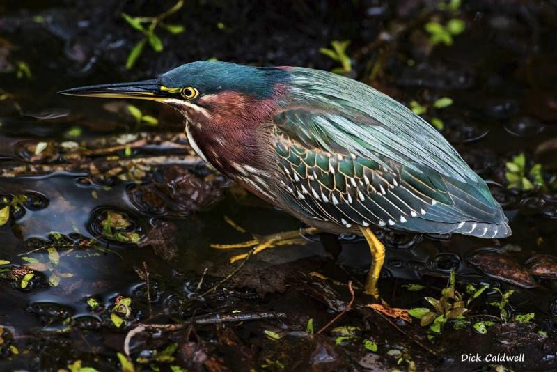 Green Heron: St Petersburg,  FL; Image: Caldwell