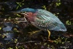 Green Heron: St P...