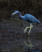 Little Blue Heron...