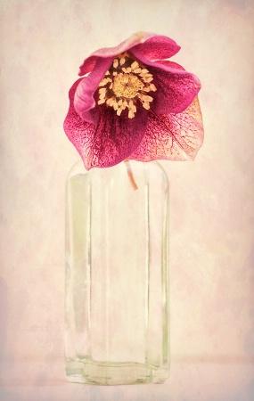 Hellebore in Vase