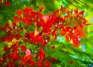 The Poinciana
