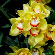 Orchids of Yellow