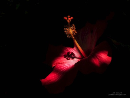 Hibiscus - Winning photo by Dick Caldwell