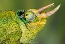 Usambara Three Horned Chameleon