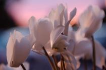Sunset Cyclamen