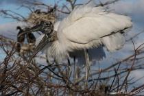 Wood Stork Nesters