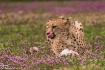 Cheetah enjoying ...