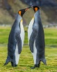 King Penguin Mati...