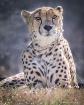Cheeta Pride