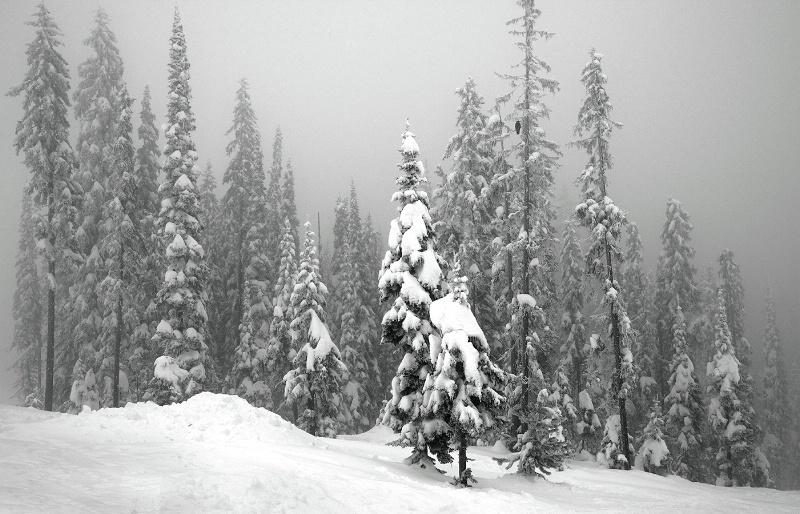 Snow Laden Trees - ID: 15101763 © Kelly Pape