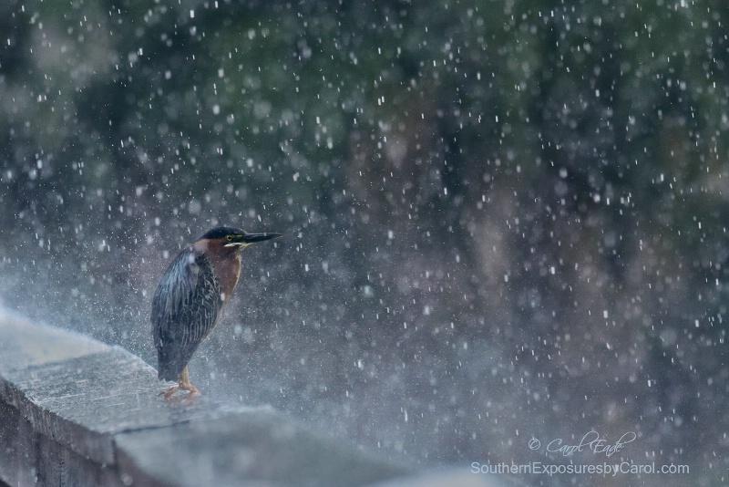 Spring Shower - ID: 15102283 © Carol Eade