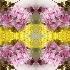 © Krista Cheney PhotoID# 15105408: Yarrow & Sweet William in ice I—kaleidoscopic