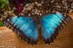 Blue Morpheus