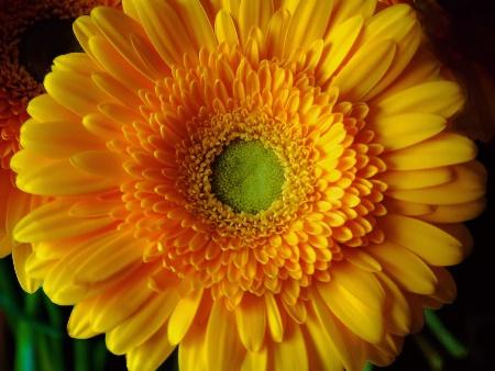 Yellow Gerberra