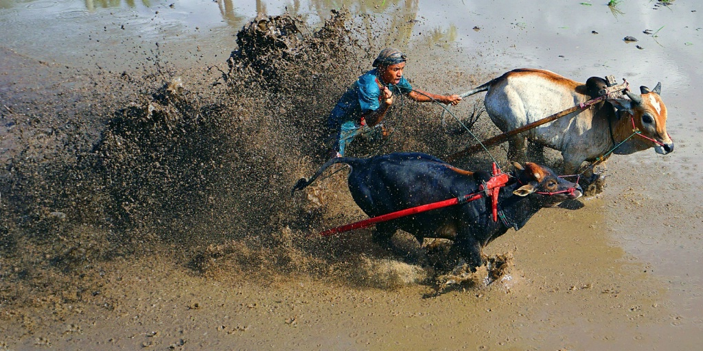 The cow race #2