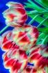 Tulip Grouping