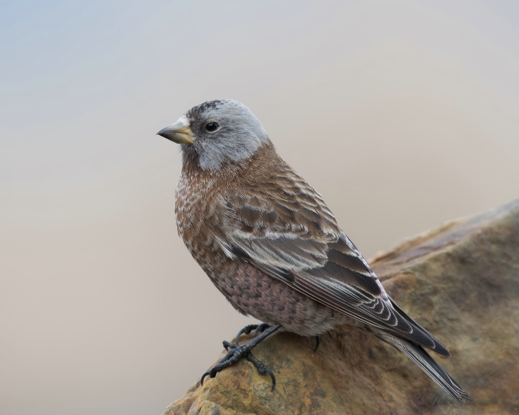 Gray-crowned Rosy-Finch - March 19th, 2015 - ID: 15109192 © John Shemilt