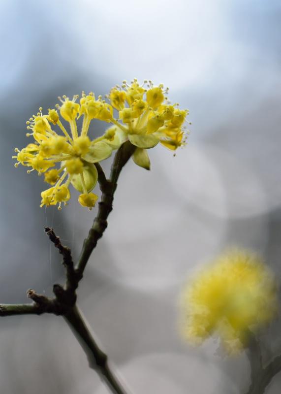 March: Cornus mas - ID: 15110515 © Sibylle G. Mattern