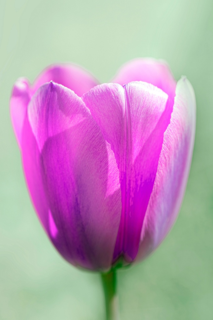 Tulip - ID: 15110791 © Daniel Schual-Berke