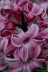 Jerrys hyacinth1