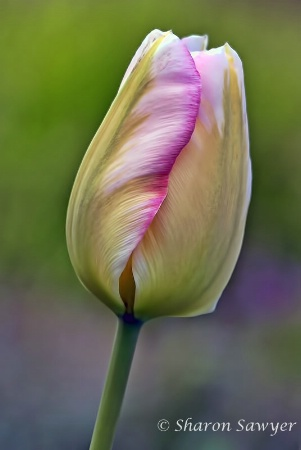 Treasured Tulip