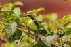 Sunbird (juvenile...