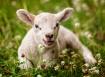 Lambchomp