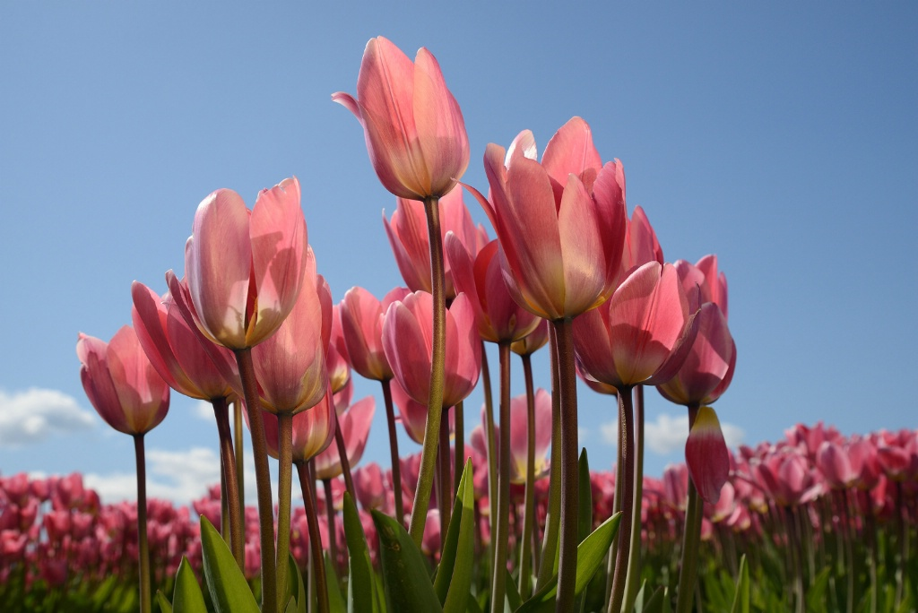 Skagit Tulips - Pink - ID: 15112609 © Ron Heusser