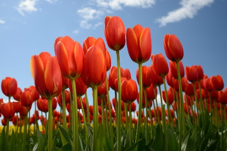 Skagit Tulips - Orange