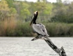 Pelican stop
