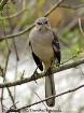 Mockingbird Stare