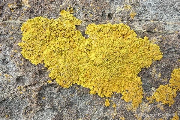 Lichen—Schoodic Peninsula, Maine - ID: 15113851 © Krista Cheney