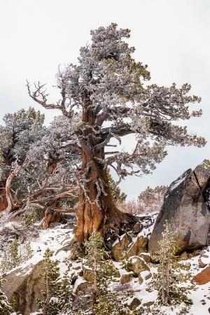 Bristlecone Pine in Snow