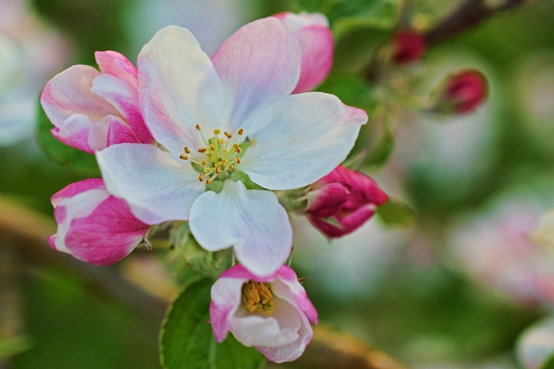 Apple blossom, up close