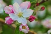 Apple blossom, up...