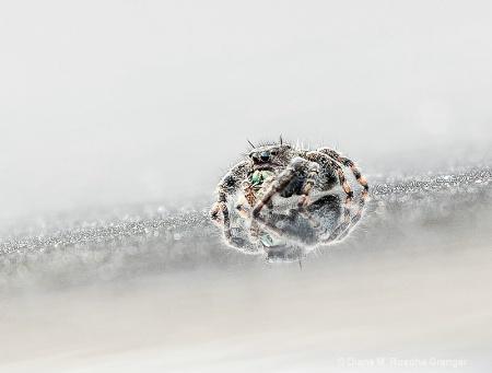 Jumpy Spider