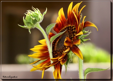 ~ Sunflower ~
