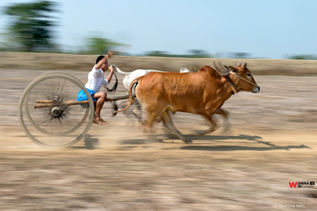 cow festival